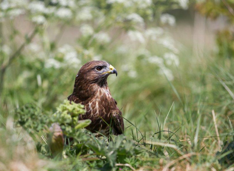 Park Cliffe Lake District Wildlife Buzzards